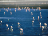 Flamingos Forage for Food in the Shallow Waters of an Atacama Lake Photographic Print by Joel Sartore
