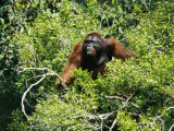 A Male Orangutan Climbs Through a Treetop in Search of Food Photographic Print by Tim Laman