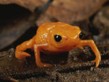 A Close View of a Small Gold Frog (Brachycephalus Ephippium) Photographic Print by George Grall