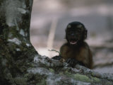 Close View of a Vocalizing Capuchin Monkey Photographic Print by Annie Griffiths