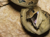 A Close View of a Cuban Boa Constrictor Swallowing a Bat Photographic Print by Steve Winter