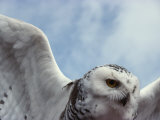 Close View of a Snowy Owl in Flight Fotografie-Druck von Paul Nicklen