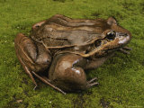 A Close View of a Frog Ready to Leap Photographic Print by George Grall