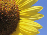 A Close View of a Sunflower Photographic Print by Heather Perry