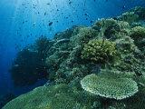 Demoiselle et autres habitants du récif nageant dans les coraux Photographie par Tim Laman