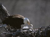 An American Bald Eagle and Chick Fotografiskt tryck av Roy Toft