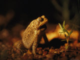 An Endangered Houston Toad Photographic Print by Joel Sartore
