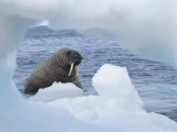 A Walrus Peers Through a Hole in an Iceberg Photographic Print by Norbert Rosing