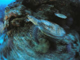 An Endangered Hawksbill Turtle Swims Along a Reef Photographic Print by Tim Laman