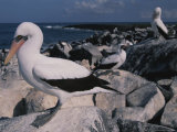 Blue-Faced Boobies Perched Atop Rocks on a Galapagos Shore Photographic Print by Annie Griffiths