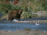 An Alaskan Brown Bear Crosses a River While Fishing for Salmon Photographic Print by Roy Toft