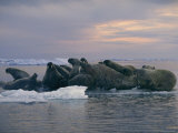 A Group of Walruses Relax on an Ice Floe at Twilight Photographic Print by Norbert Rosing