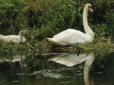A Mute Swan and Her Cygnet Photographic Print by Medford Taylor