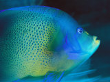 An Angelfish Cruises Fijis Waters Photographic Print by Tim Laman