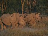 Oxpeckers Search for Ticks on a Pair of Southern White Rhinoceroses Photographic Print by Roy Toft