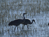 A Pair of Rare Japanese Red-Crowned Cranes Hunt in Shallow Water Photographic Print by Tim Laman