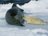 A Baby Harp Seal Nurses Photographic Print by Brian J. Skerry