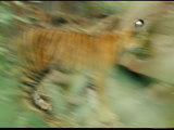 Bengal Tiger Cub in Blurred Motion Photographic Print by Jason Edwards