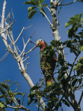 A Colorful Cuban Parrot, Amazona Leucocephala, Sits in a Tree Top Photographic Print by Steve Winter