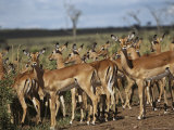 A Group of Impalas (Aepyceros Melampus) Survey Their Surroundings Photographic Print by Medford Taylor
