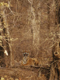 A Resting Bengal Tiger Camouflaged in Forest Growth Photographic Print by Jason Edwards