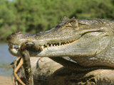 A Spectacled Caiman Eats an Anaconda in Venezuela Photographic Print by Ed George