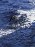 A Dolphin Leaps from the Ocean Near Kona, Hawaii Photographic Print by Heather Perry