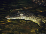 An Endangered Phillipine Crocodile Floats on the Surface of a Pond Photographic Print by Jason Edwards