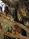 Three Gelada Baboons on the Moss-Draped Branches of a Tree Photographic Print by Michael Nichols