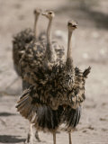 A Trio of Ostriches, Struthio Camelus Photographic Print by Tom Murphy