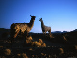 Llamas in the Atacama Desert at Dusk Photographic Print