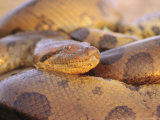 Close View of an Anaconda in Venezuela Photographic Print by Ed George