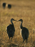 Pair of Sandhill Cranes, Beak to Beak Photographic Print by Michael Melford