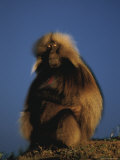 A Portrait of a Male Gelada Baboon Photographic Print by Michael Nichols
