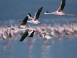 Greater Flamingos in Flight over Lake Nakuru Photographic Print by Roy Toft