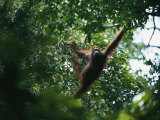 An Orangutan Crosses the Forest by Brachiating (Swinging by Her Arms) Photographic Print