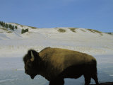 An American Bison Stands in a Wintry Landscape Photographic Print by Raymond Gehman