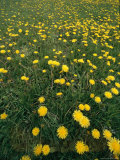 A Dandelion Filled Field in Rogers Pass Photographic Print by Michael S. Lewis