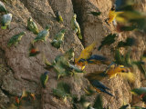 Blue and Yellow Macaws and Other Birds Gather on a Riverside Cliff Photographic Print by Maria Stenzel