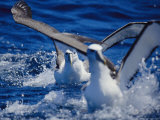 Shy Albatrosses Running on Water to Take off into Flight, This Species is Considered Vulnerable Photographic Print by Jason Edwards