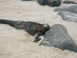Marine Iguana on Espanola Island in the Galapagos Islands; the Only Sea-Going Lizard in the World Photographic Print by Gina Martin