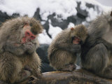 A Group of Snow Monkeys Huddle against the Cold Photographic Print by Michael Nichols