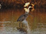 A Great Blue Heron Eats a Fish Photographic Print by Joel Sartore