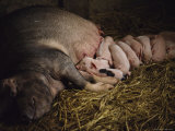 A Sow Suckles Her Piglets Photographic Print by Jodi Cobb