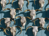 Bleached Cow Skulls Decorate a Wall Fotografisk tryk af Paul Chesley