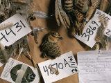 Dead Attwaters Prairie Chickens (Tympanuchus Cupido Attwateri) with Paper Tags on Them Papier Photo par Joel Sartore