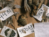 Dead Attwaters Prairie Chickens (Tympanuchus Cupido Attwateri) with Paper Tags on Them Photographic Print by Joel Sartore
