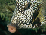 A Close View of the Mouth of a Cowfish Fotografisk tryk af Tim Laman