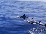 Rare Rissos Dolphins Swimming at the Waters Surface Photographic Print by Jason Edwards