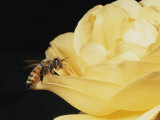 Honey Bee (Apis Mellifera) on Rose Blossom Photographic Print